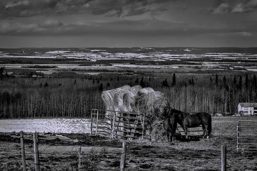 horses blackandwhite canada landscape spring farm alberta thaw grandeprairie