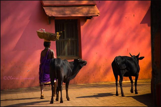Cows.  Gokarna