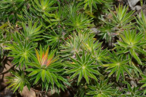 ericaceae melichrus melichrushirsutus threatenedspecies flaggycreeknaturereserve australianflora northcoastbotanicalsubdivision northernrivers orararivervalley clarencevalley nsw australia styphelioideae epacridoideae