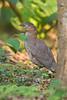 Malayan Night-Heron, Gorsachius melanolophus by jwsteffelaar