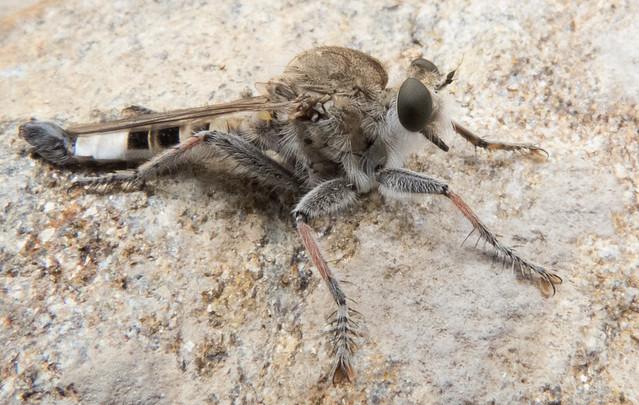 Robber Fly (Efferia albibarbis, male)