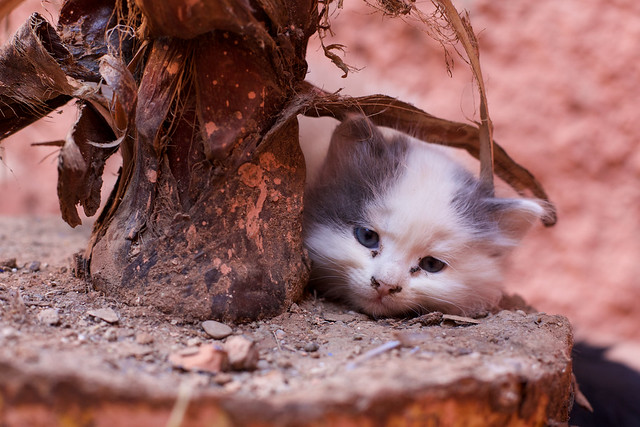 Market Kitten, Marrakech