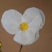Sagittaria isoetiformis - Photo (c) Jerry Oldenettel, algunos derechos reservados (CC BY-NC-SA)