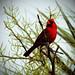 Cardinal by Sunshynest8