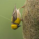 The master at work - Baya Weaver (Ploceus philippinus)  .