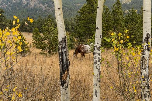 autumn trees wild horses horse tree fall animals colorado unitedstates foliage wilderness aspen estespark grazing jamesinsogna