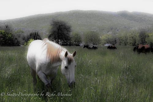 horses nature animals farm canon50d