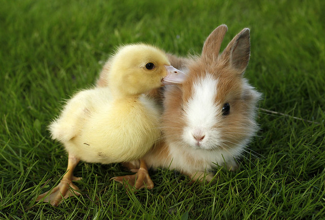 Rabbit bunny and duckling are friends