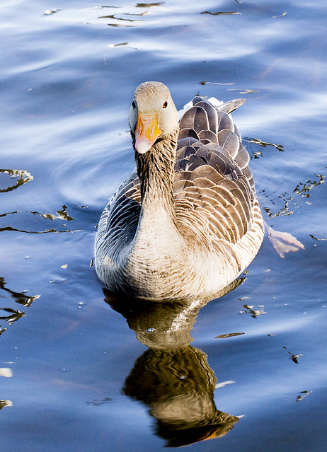 Swimming greylag goose