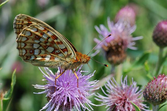 Argynnis niobea - Niobe Fritillary - Duinparelmoervlinder