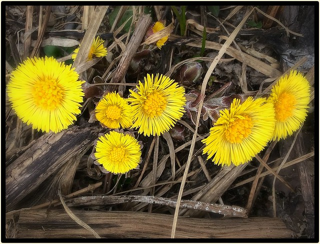 Coltsfoot... The first wildflower, every spring.... 19 April 2015