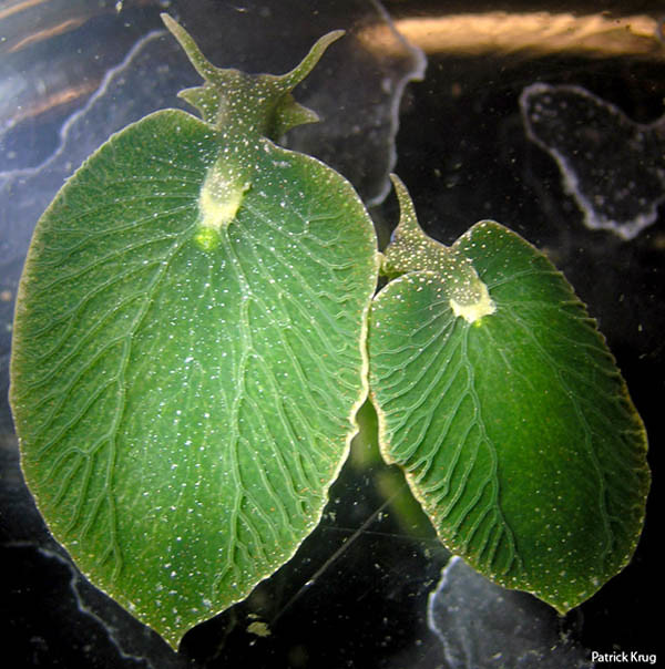 Would You Become Something You Eat Most? Elysia chlorotica, The First Animal-Plant Hybrid Creator