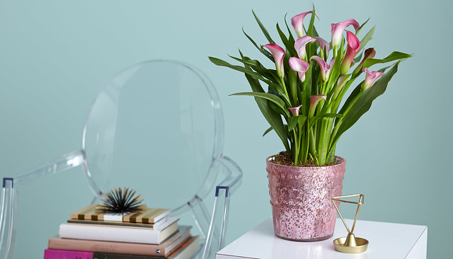 pink calla lily flowers planted in a pink pot on a table with a glass chair and books stacked in the background
