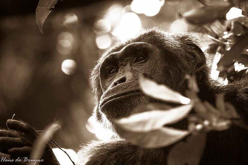 Chimp at Kibale Forest National Park