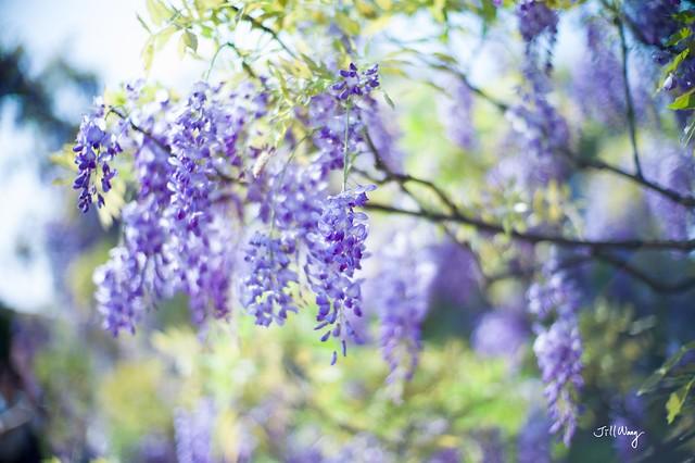 徜徉在紫色夢幻國度