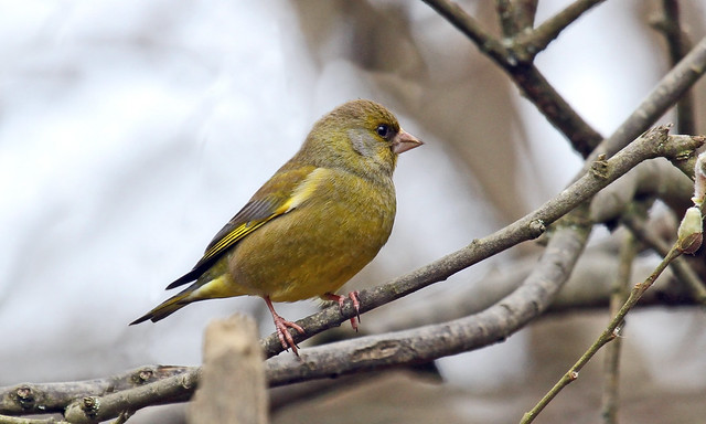 Greenfinch - Warnham Nature Reserve
