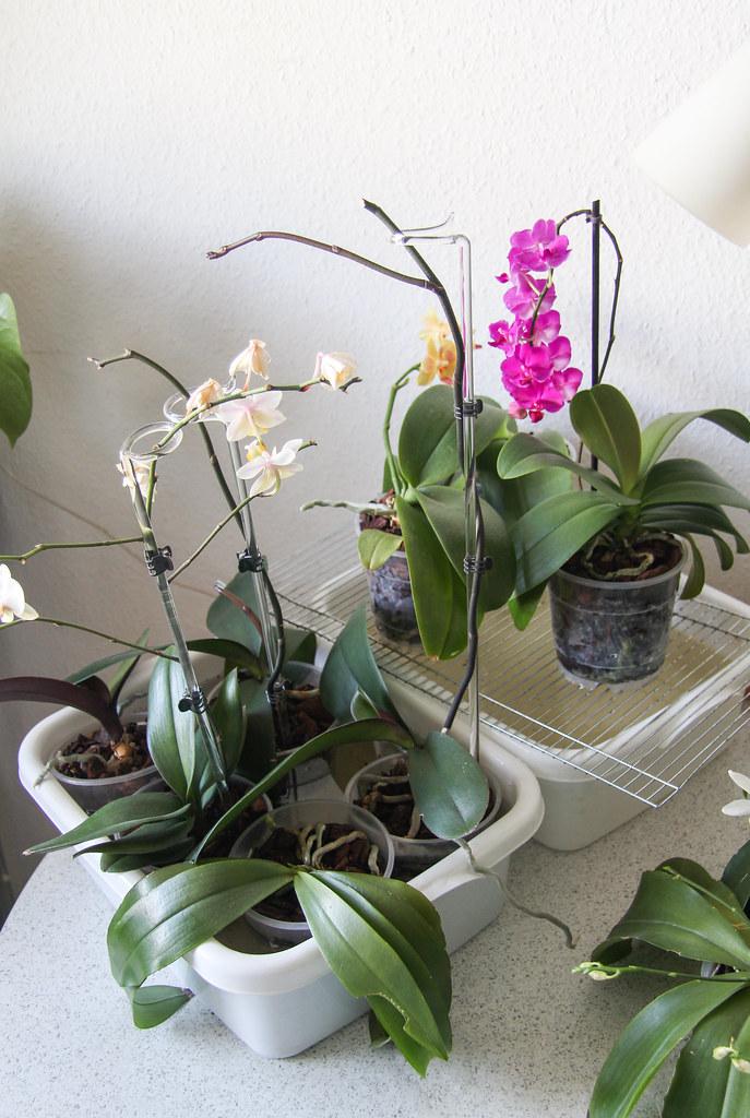 Orchideen Tauchen