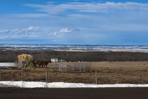 ranch horses canada field march spring nikon farm country bluesky alberta hay equine wembley 2015 saskatoonmountain nikond80