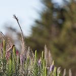 Red headed bird, Marina Park, Emeryville, CA