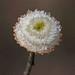 Syngonanthus flavidulus - Photo (c) Jerry Oldenettel, algunos derechos reservados (CC BY-NC-SA)
