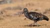 Wattled bird by Pascal Bernardin