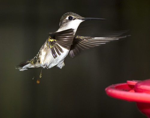 hummingbird | by watts_photos