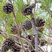 Pinus clausa - Photo (c) Jerry Oldenettel, algunos derechos reservados (CC BY-NC-SA)