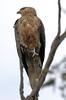 Whistling Kite Herdsman A by PJQuinn 1