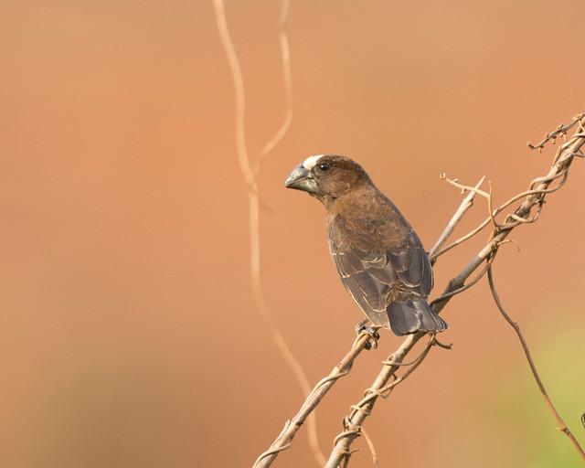 Thick-billed Weaver, Amblyospiza albifrons, Chimanimani, Zimbabwe