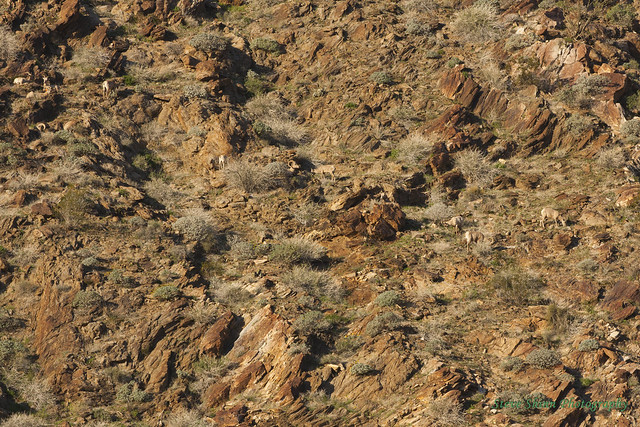 Borrego Springs endangered Peninsular Bighorn sheep, click on image and use cursor to see a typical view through binoculars etc. ....on a good day..
