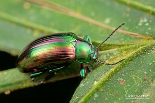 Emerald darkling beetle (Pseudonautes sp.) - DSC_5068