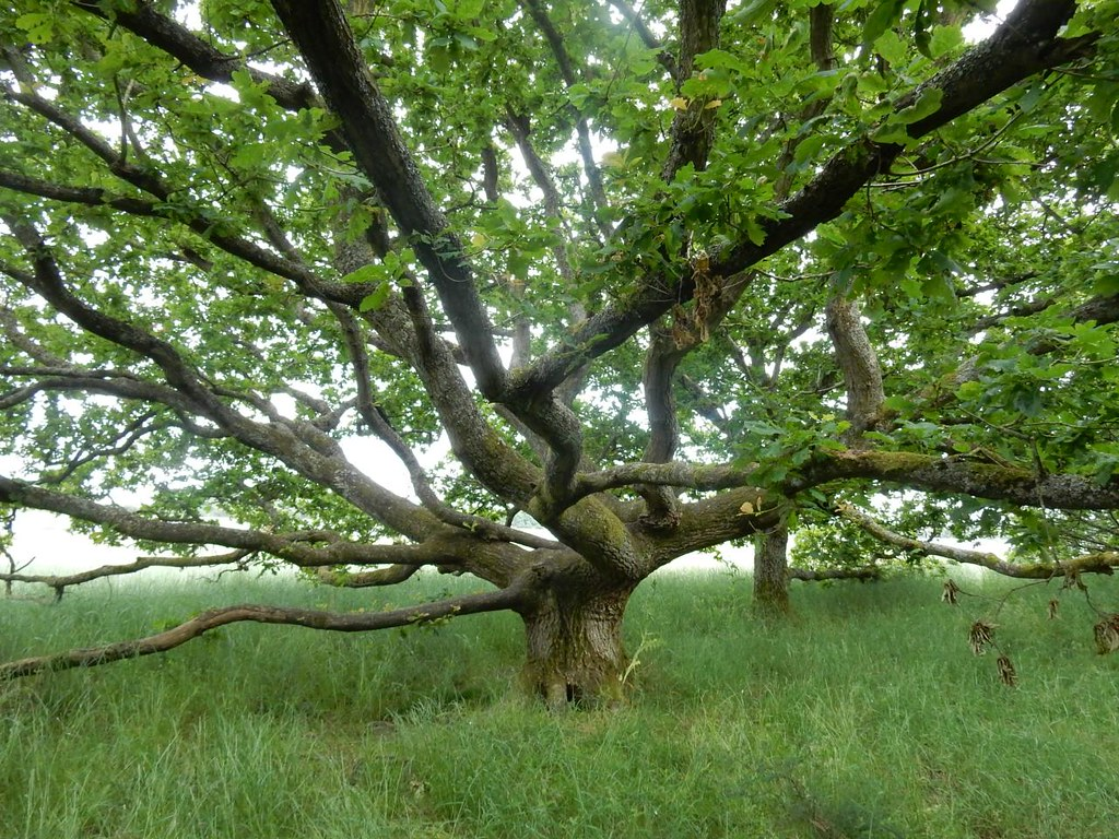 Gnarled oak Southbourne to Chichester