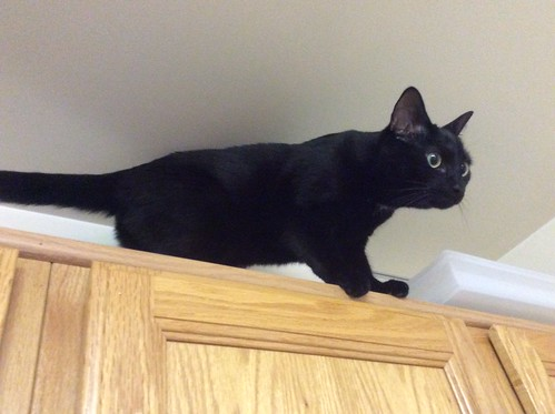 Martha #cat atop the kitchen cabinets | by brownpau