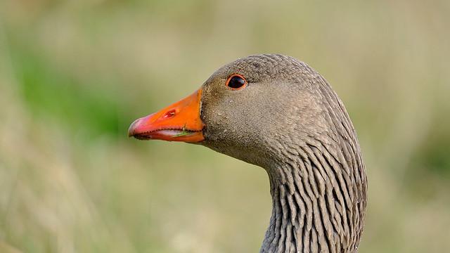 Greylag Goose DSC_6869