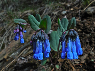 Small Bluebells, Long-flowered Lungwort, Trumpet Bluebells ~ Mertensia longiflora | by Montucky