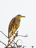 Chinese Pond-heron (Ardeola bacchus) by David Cook Wildlife Photography