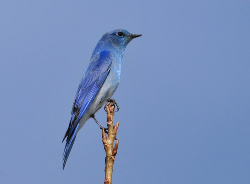 Mountain Bluebird on Seedskadee NWR | by USFWS Mountain Prairie
