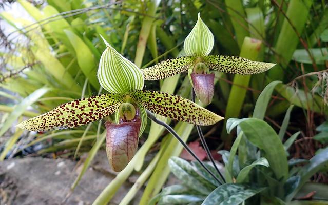 Slipper Orchid - Paphiopedilum sukhakulii