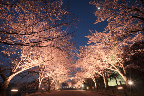 sunset japan 大阪 桜 sakura osaka 万博記念公園 expocommemorationpark a7r 大阪府 flickrhongkong 桜のライトアップ flickrhkma さくらの名所100選