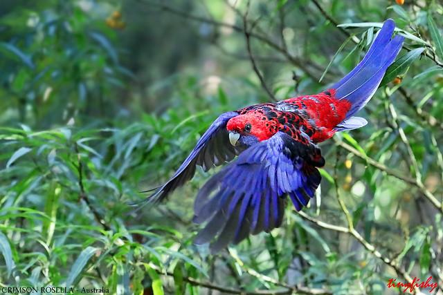 (741a) Crimson Rosella - [ Mount Dandenong, Australia ]