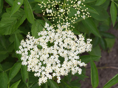 Elderflower | by Luc.T