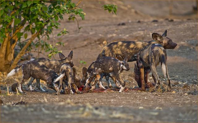 Wild Dogs at Impala Kill