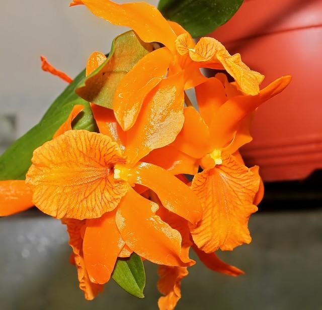 Dendrobium Firebird (1)