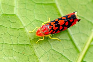 Leafhopper (Ladoffa dependens) - DSC_9339
