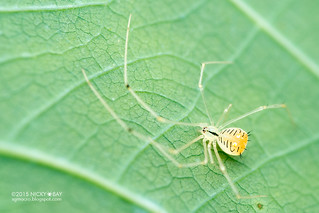 Comb-footed spider (cf. Meotipa sp.) - DSC_7587