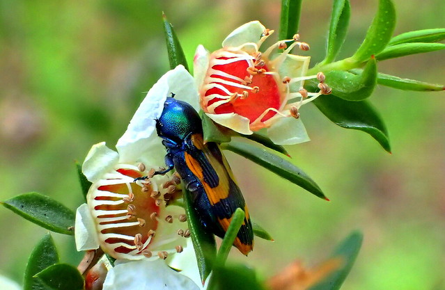 Time for the JEWEL BEETLE to snuggle...