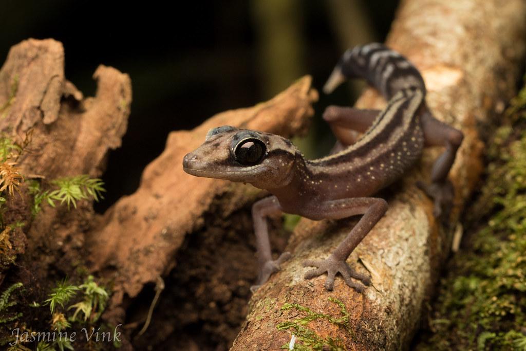 Graceful Madagascar Ground Gecko (Paroedura gracilis) | Flickr