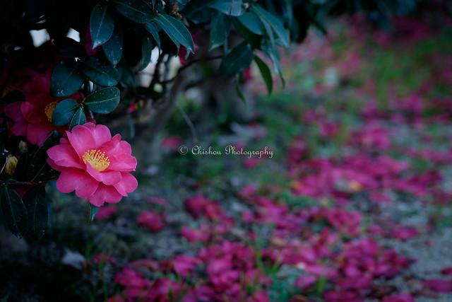 花便り(Tidings of flowers)