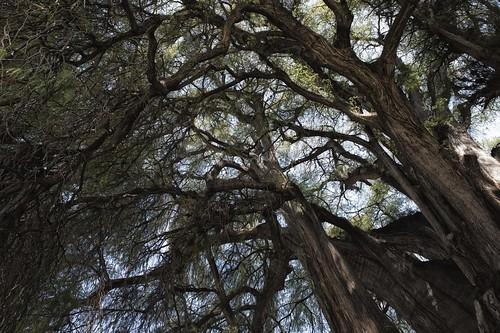 El Arbol del Tule, Oaxaca