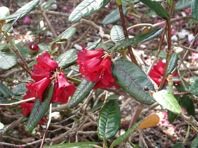 Rhododendron fulgens?